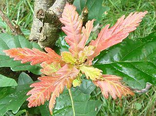 Quercus robur x dentata