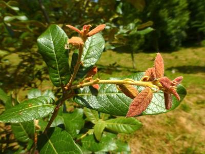 quercus_dysophylla_francisco_garin_4.jpg