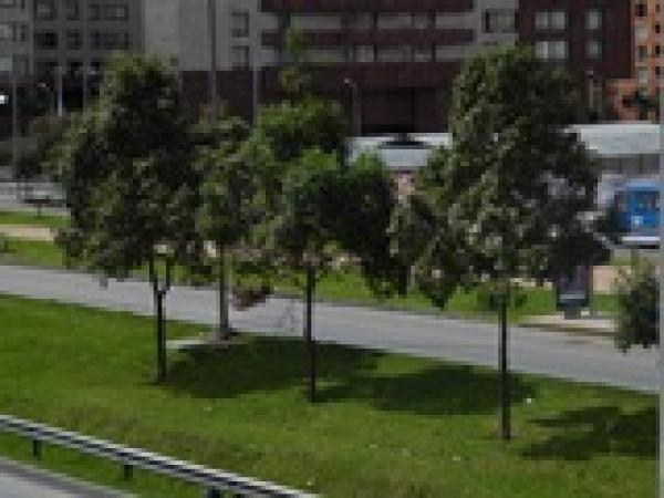 Quercus humboldtii in Bogotá