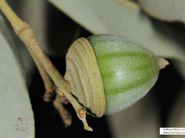 cyclobalanopsis_hypophaea_2.jpg