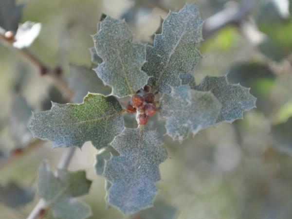 quercus_berberidifolia_600x450.jpg