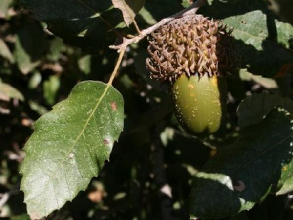 quercus_ithaburensis_native_habitat.jpg