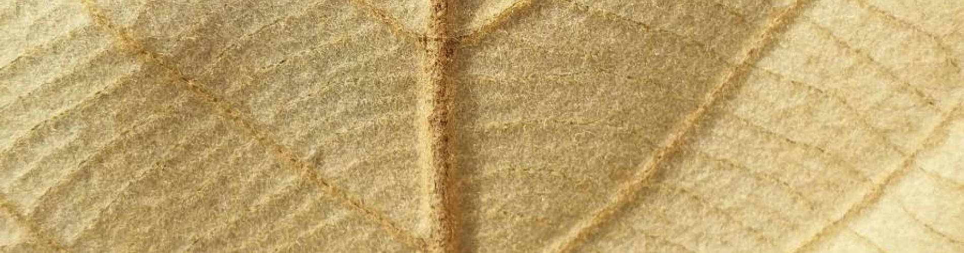 Quercus lanata