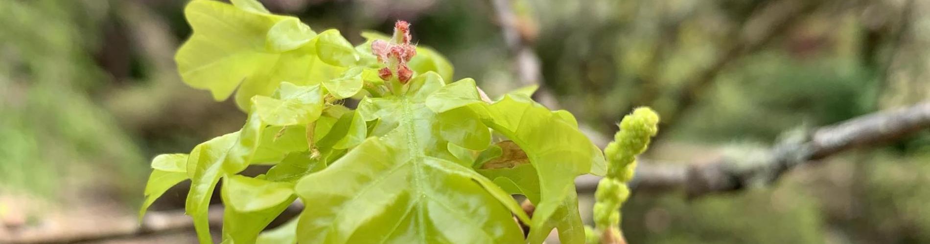 Quercus robur 'Concordia' © Niall Dunne