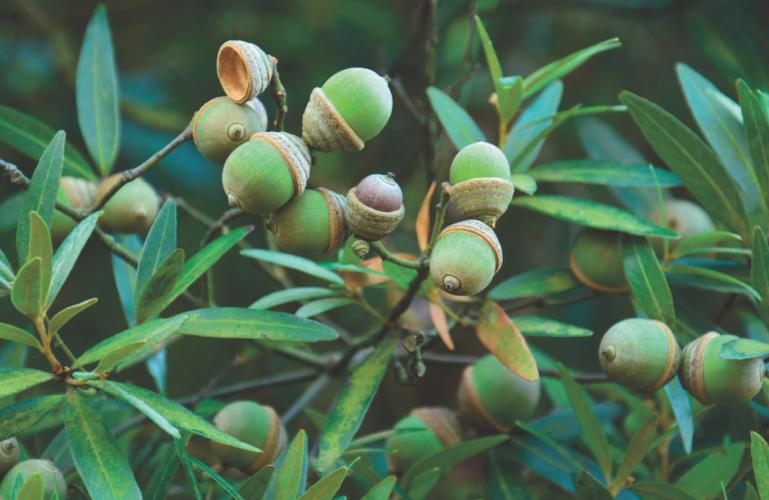 Quercus bambusifolia (Joeri S. Strijk, Alliance for Conservation Tree Genomics)
