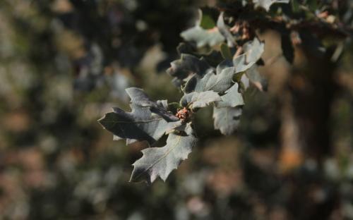 06/10/12. Arboretum de la Bergerette. Quercus grisea Liebm. Photo: J. Bömer.