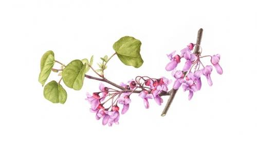 Cercis siliquastrum - Judas Tree, now held in the Hunt Institute collection, Pittsburgh
