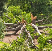 Quercus alba at Melbourne Botanic Gardens