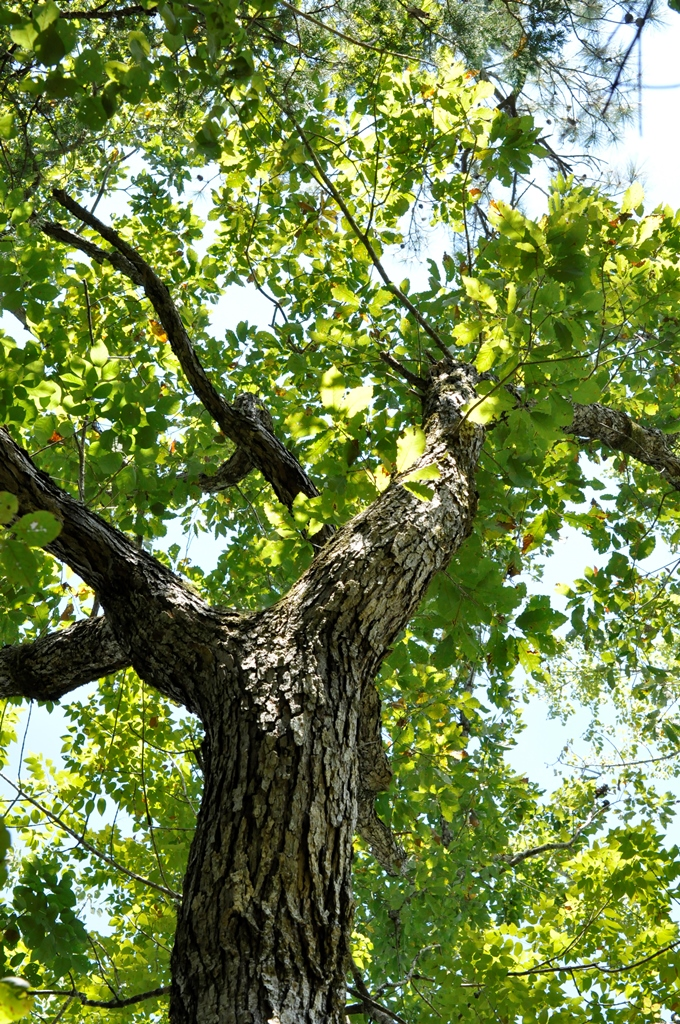 The hills are alive with oaks international oak society