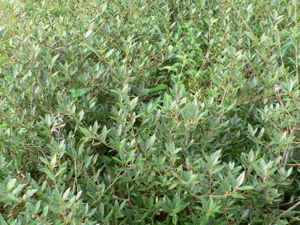 Quercus depressa