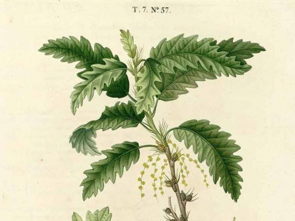 duhamel_du_monceau_h.l._1819_traite_des_arbres_et_arbustes_nouvelle_edition_nouveau_duhamel_vol._7_t._57.jpg