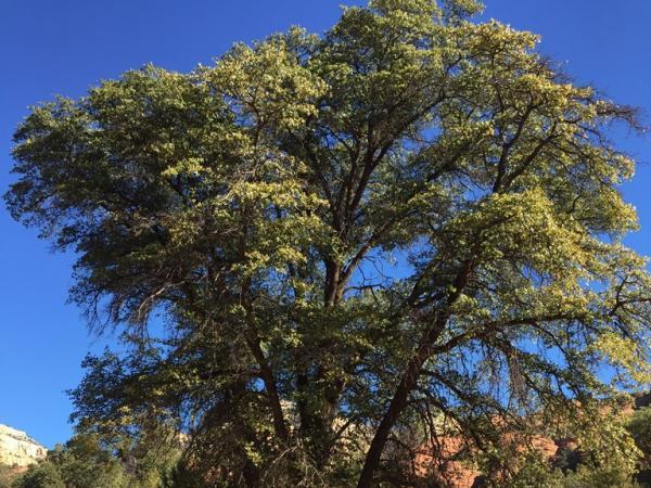 Emory oak near Young, Arizona ©Nanebah Lyndon