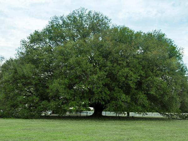 The Compton oak at Colonial Williamsburg