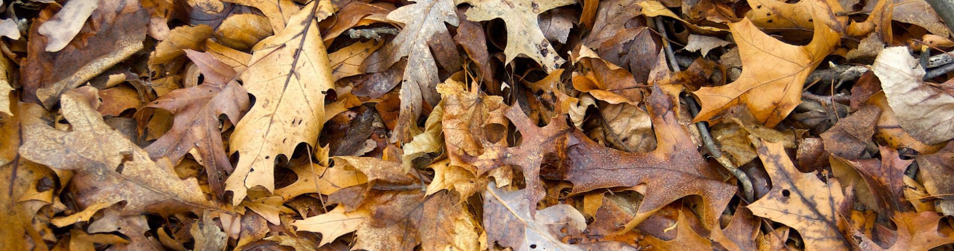 Oak leaf litter © Douglas Tallamy