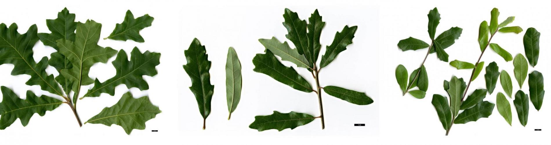 Scans of Q. lyrata, Q. xcomptoniae, and Q. virginiana