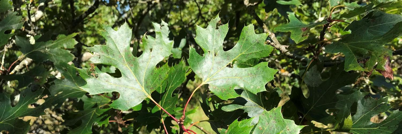 Quercus acerifolia © Ryan Russell