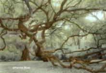 Fiarchild Oak