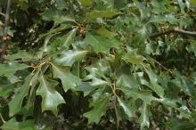 leaf_r_43_m.jpg