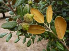 q._alnifolia.jpg