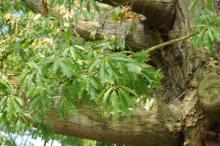 Quercus-x-heterophylla_6-Andreas Gomolka