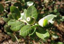 Quercus grisea - Greenlee County, AZ