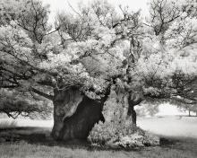 The Queen Elizabeth Oak by Beth Moon